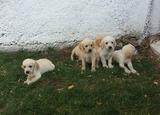 Продавам Лабрадор Ретривър-Кучета