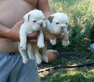 Продавам Английски булдог-Кучета