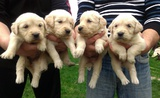 Продавам Голдън ретривър-Кучета