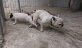 Продавам Мъжки Френски булдог-Кучета