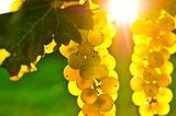 Продавам грозде-0.50  - Мускат отонел,Каберне,Памид-Храни, Напитки
