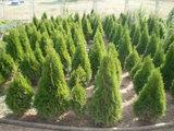 Разсадник за декоративна растителност Ценов-Озеленяване