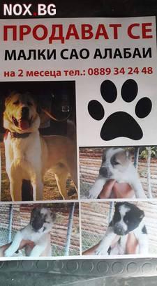 Prodavam bebeeta alabai | Кучета | Пазарджик