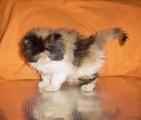 Продавам трицветно и бялo - персийски котета-Котки