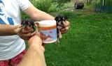 Продавам уникален Мини Джак ръсел-Кучета