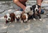 Продавам чистокръвен Американски питбул-Кучета