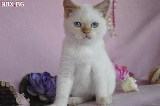 Развъдник Продаваме синеоки котенца - Хималайски, Колорпоинт   Котки   София-град