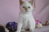 Развъдник Продаваме синеоки котенца - Хималайски, Колорпоинт-Котки