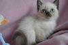 Развъдник Продаваме синеоки котенца - Хималайски, Колорпоинт   Котки  - София-град - image 1