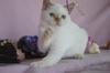 Развъдник Продаваме синеоки котенца - Хималайски, Колорпоинт   Котки  - София-град - image 3