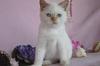 Развъдник Продаваме синеоки котенца - Хималайски, Колорпоинт | Котки  - София-град - image 0