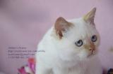 Продаваме Шотландски и Британски породисти котенца - Изгодно-Котки