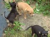 Чихупинчери-Кучета