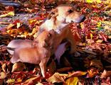 Пинчери-Кучета