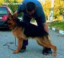 Продава се Немска Овчарка Женска-Кучета