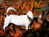 Джак ръсел-Кучета