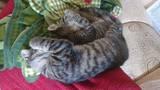 Подарявам две котета-Котки