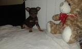 Продавам кученце Чихуахуа-Кучета