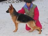 Немска Овчарка / Немски Овчарки-Кучета