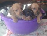 Продавам дакели-Кучета