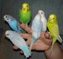 ПРОДАВА ПАПАГАЛИ-Птици