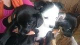 Продавам Пинчери-Кучета