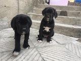 Кане корсо-Кучета