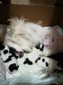 Малки бебета японски хинчета-Кучета