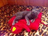 Порода Руска синя котка Мъжка на 6 месеца-Котки