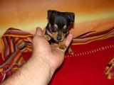 Мини пинчер-Кучета