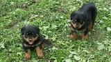 Продавам малки ротвайлери-Кучета