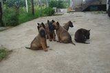 Белгийски овчарки - малиноа-Кучета