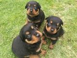 Най-сладките ротвайлерчета - 7 женски и 4 мъжки-Кучета