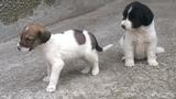 Подарявам кучета-бебета, порода Българска овчарска-Кучета