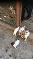 Продавам чистокръвни кученца порода Джак Ръсел териер-Кучета