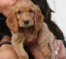 Продавам бебе кокер шпаньол-Кучета