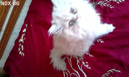 Персийски котки. | Котки | Враца
