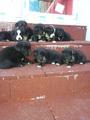 Подаряват се 8 непородисти кученца-Кучета