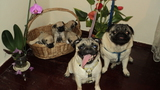 Мопс кученца-Кучета