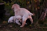 Ваксинирани и обезпаразитени пясъчни бебета лабрадори-Кучета