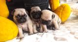 Мопс бебета-Кучета