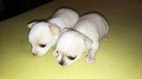 Продавам чихуахуа-Кучета