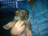 Немско овчарско куче-Кучета