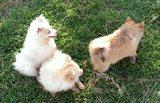Немски шпиц мини-Кучета
