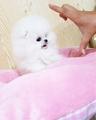 Pomeranian кученца-Кучета