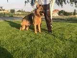 Малки немски овчарки-Кучета
