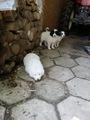Каракачанки-Кучета