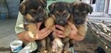 Продавам немски овчарки-Кучета