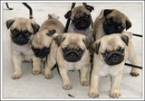 Чистокръвни бебета Мопс с родословия от лицензиран развъдник-Кучета