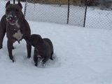 Сиви питбулчета-Кучета